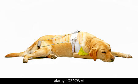 GUIDE DOG Guide Dogs for the Blind - Stock Image