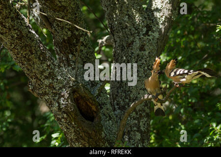Hoopoe, Latin name Upupa epops, pair courtship feeding on a branch next totheir nest with crest raised in woodland habitat in dappled sunlight - Stock Image