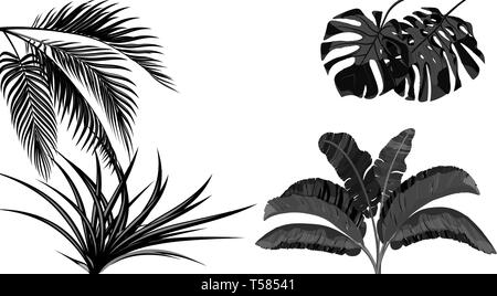 Set. Black and white leaves of banana, coconut , monstera and ogawa.Tropical for print, picture or postcard. illustration - Stock Image