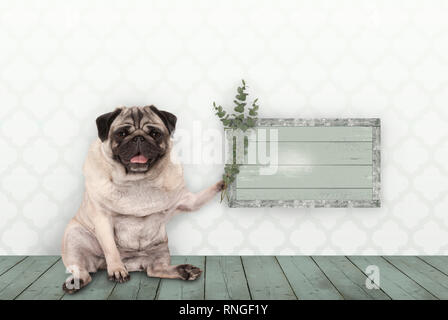 cute smiling pug puppy dog sitting down on old green wooden floor, holding blank sign and eucalyptus twigs and branches, in front of wall with morocca - Stock Image