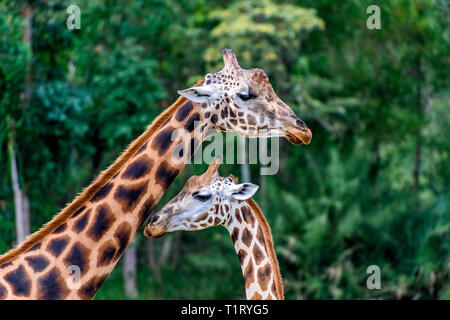 Two beautiful giraffes with the distinctive pelt that distinguishes then as a Rothschild's giraffe. - Stock Image