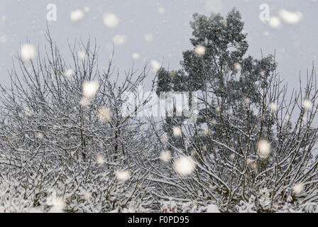 Trees with snow laden branches and snow falling. - Stock Image
