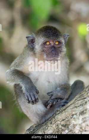 Crab-eating macaque - Macaca fascicularis - also known as long-tailed macaque - Stock Image