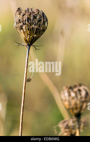 Queen Anne's Lace (Daucus carota) dried, dead flower found in December in Corvallis, Oregon, USA. - Stock Image