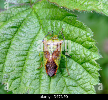 Close Up of a Shield Bug - Stock Image