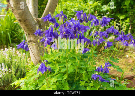 A purple Aquilegia flower in north east Italy in spring, also known as Columbine - Stock Image