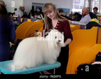 New York, United States. 11th Feb, 2019. Westminster Dog Show - New York City, 11 February, 2019: Turbo, a Coton De Tulear being groomed before the Best of Breed Competition at the 143rd Annual Westminster Dog Show in New York City. Credit: Adam Stoltman/Alamy Live News - Stock Image