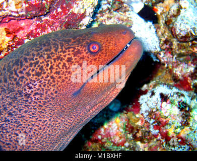 Giant moray, Red Sea - Stock Image