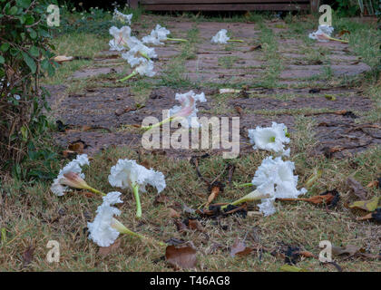 White Dolichandrone serrulata flowers covering the the ground in Thailand, Thai vegetable - Stock Image