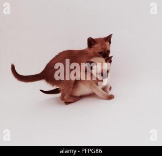 Mock-Aggressive Kitten Play - Stock Image