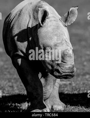 Detailed, close-up front view of cute, baby white rhinoceros (Ceratotherium simum) standing isolated, outdoors in autumn sunshine at UK wildlife park. - Stock Image
