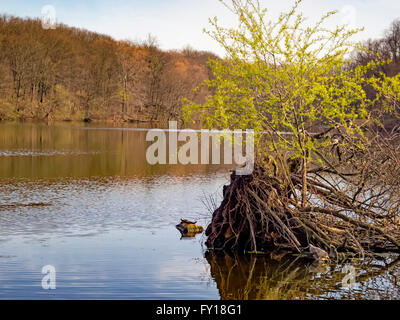 Pleasantville, NY 18 April 2016 - Painted turtles (Chrysemys picta) sun themselves on a rock in Swan Lake. Unusually - Stock Image