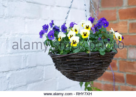 Winter Pansies and Violas in a hanging basket. - Stock Image