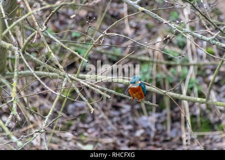 Kingfisher (Alcedo atthis) hunting fish, perched on winter tree branches. Early signs of spring with some branches having tree buds - Stock Image