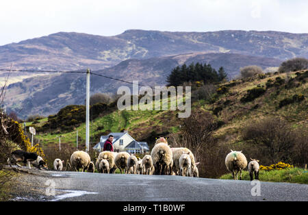 Ardara, County Donegal, Ireland. 25th March 2019. Farmers moving sheep and lambs to new pasture as the weather warms up on the north-west coast. Credit: Richard Wayman/Alamy Live News - Stock Image
