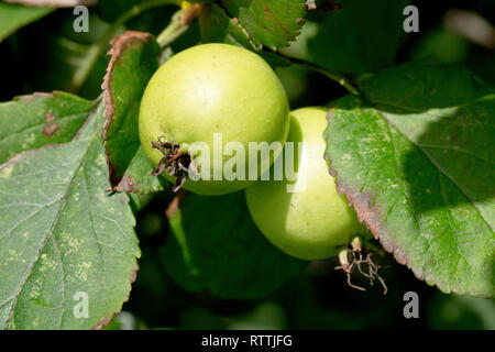 Crab Apple (malus sylvestris), close up of a pair of apples ripening in the autumn sunshine.. - Stock Image