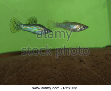 A pair of Mexican mollies (Poecilia mexicana) swim over a terracotta roofing tile in an aquarium. - Stock Image