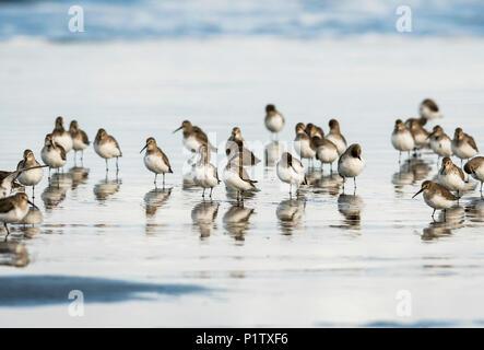 Migrating Dunlins (Calidris alpina) rest on the beach; Hammond, Oregon, United States of America - Stock Image