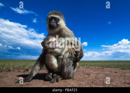 Vervet monkey (Cercopithecus aethiops) female with suckling baby, Maasai Mara National Reserve, Kenya.  Taken with remote wide angle camera. - Stock Image