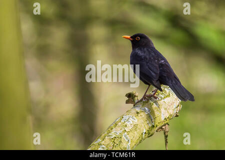 A male european Blackbird turdus merula singing in a tree with on a cloudy day in Spring season. - Stock Image