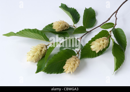 European Hop Hornbeam (Ostrya carpinifolia), twig with leaves and fruit clusters. - Stock Image
