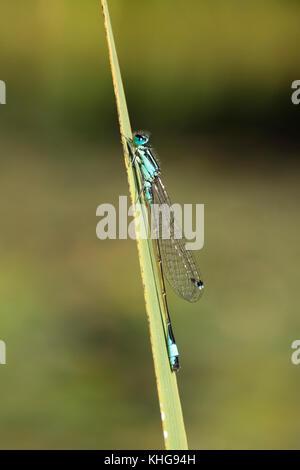 Blue-tailed Damselfly resting on iris leaf - Stock Image