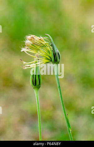 dandelion clock emerging from protective shell - Stock Image