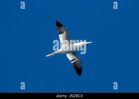 Northern Gannet (Morus bassanus) flying above a cruise ship in the North Sea - Stock Image
