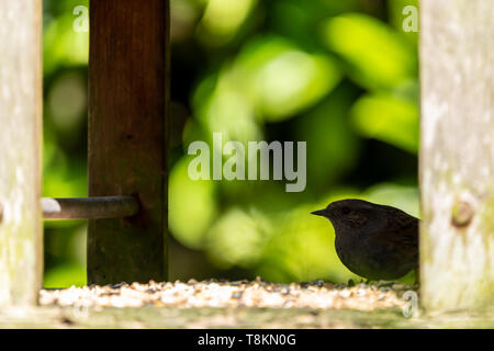 Dunnock (Prunella modularis) perched on back of sheltered bird table in silhouette. - Stock Image