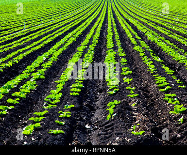 Rows of Planted Crops - Stock Image