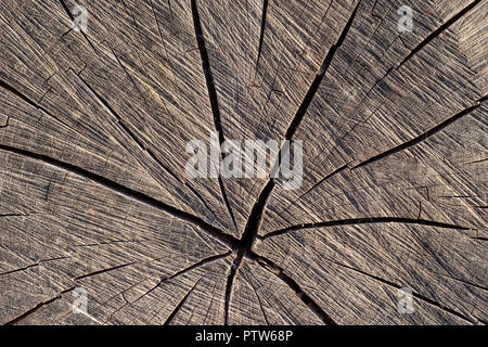 End grain of tree trunk showing drying splits. - Stock Image