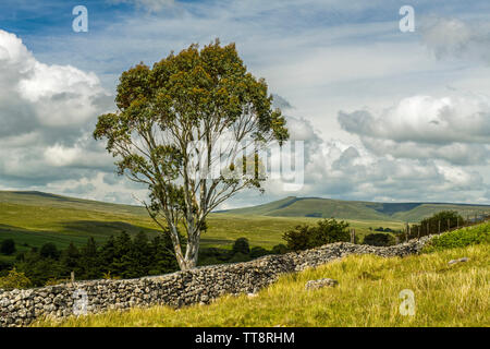 Brecon Beacons Landscape and a solitary Eucalyptus Tree, south Wales in summer - Stock Image