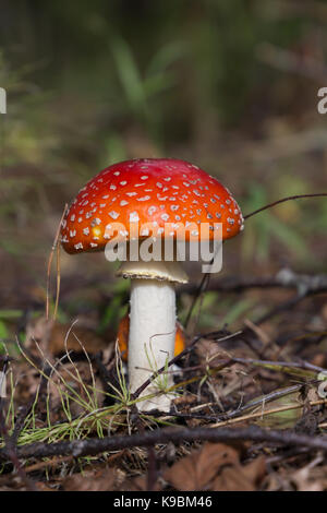 Small Amanita Muscaria close up - Stock Image