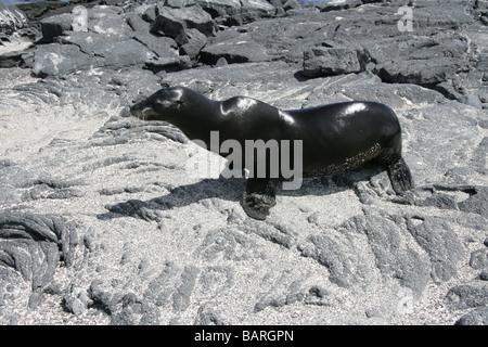 Galapagos Sea Lion Pup, Zalophus wollebaeki, Punta Espinoza, Fernandina Island (Narborough), Galapagos Islands, - Stock Image