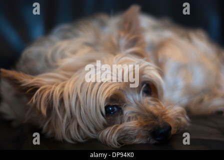 Close up of resting Yorkshire terrier looking sideways at camera. - Stock Image