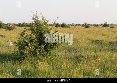 Coastal grassland at öland, Sweden - Stock Image