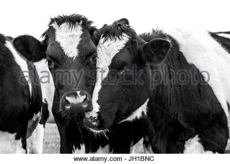 Cows Black and white in field looking at camera - Stock Image