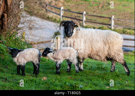 Durrus, West Cork, Ireland. 23rd Mar, 2019. A sheep and her two new born lambs enjoy the sunshine in a field near Durrus. The day will be sunny with maximum temperatures of 10° Celsius. Credit: Andy Gibson/Alamy Live News - Stock Image