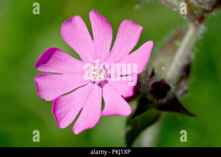 Red Campion (silene dioica), close up of a solitary flower. - Stock Image