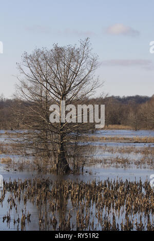 Bare tree in the cold grip of winter season at Mingo National Wildlife Refuge in Missouri on Decmeber 28, 2018. Vertical image with copy space. - Stock Image