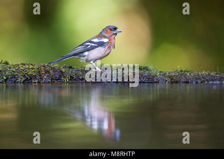 Male Chaffinch (Fringilla coelebs) reflected while bathing in a forest pool - Stock Image