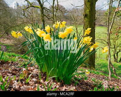 Derbyshire, UK, 14 April 2018. Blooming daffodils as warm spring temperatures finally arrive in Ashbourne, Derbyshire, Peak District National Park Credit: Doug Blane/Alamy Live News - Stock Image