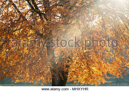 Sunlight Streaming Through Branches Of Tree Covered In Autumn Leaves - Stock Image
