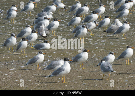 Wintering flock of Pallas's gulls (Larus ichthyaetus) - previously known as great balck-headed gull, at a fish farm - Stock Image