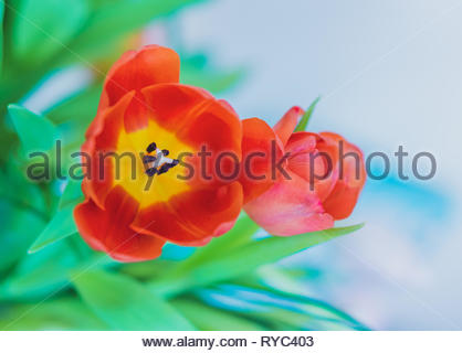 Red opened red tulip flower with green leaves in soft focus background. - Stock Image