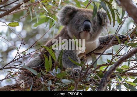 Koala perched in eucalyptus tree, Flinders Chase National Park, Kangaroo Island, Australia - Stock Image