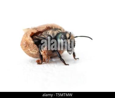 Female Mason bee (Osmia lignaria) hatching - side view on a white background - Stock Image