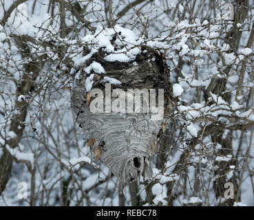 Abandoned Bald faced hornets nest in winter, Dolichovespula maculata.  Not a true hornet, it is a species of Yellowjacket wasp. - Stock Image