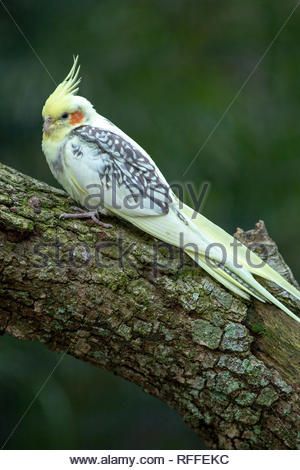 Cockatiel, Brevard Zoo, Florida - Stock Image