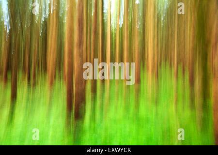 Trees in forest, Schwangau, Allgaeu, Bavaria, Germany, Europe - Stock Image